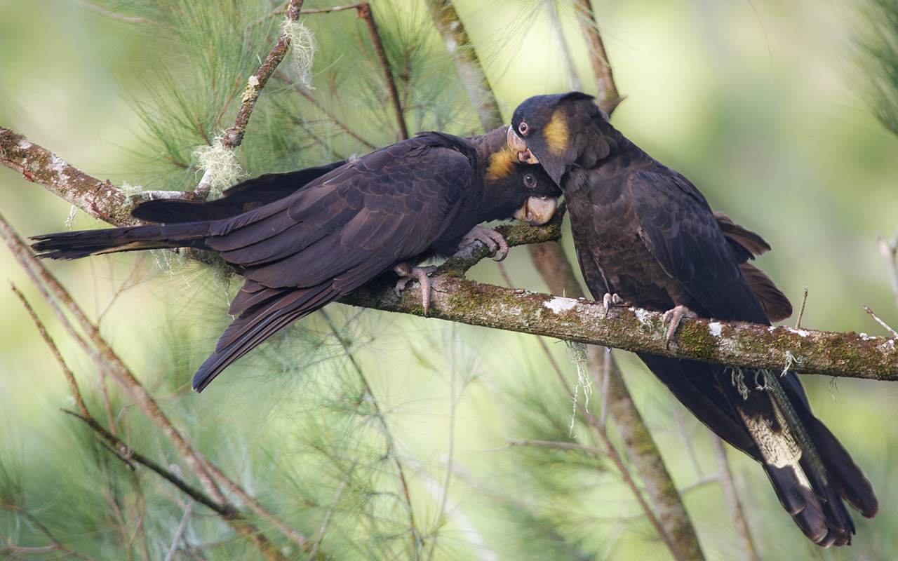 Yellow-tailed Black Cockatoos, Tara Ridge, Booyong