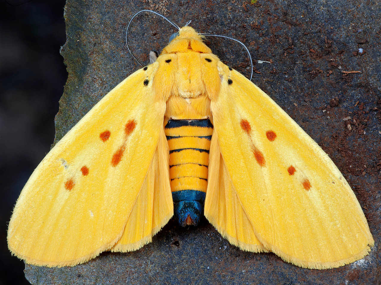 Yellow Tiger Moth (Agape chloropyga).  Taken at home in July 2011