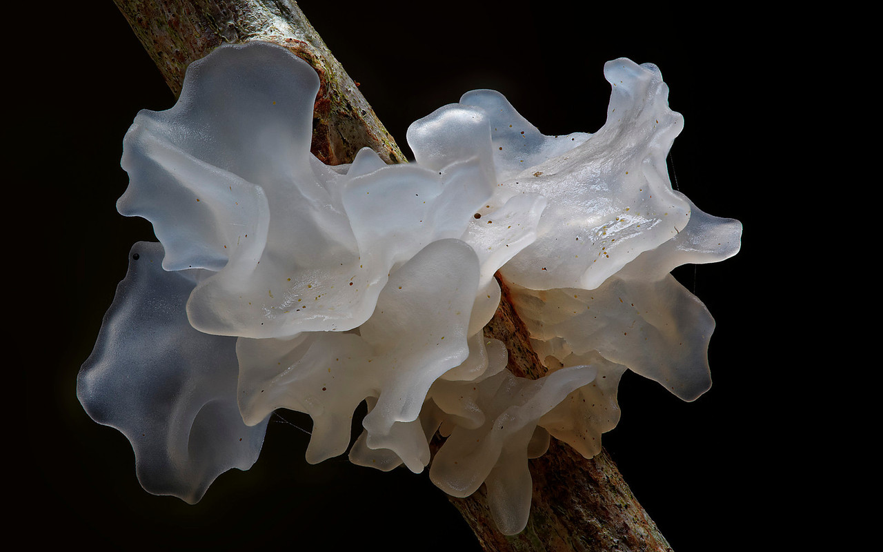 Tremella fimbriata, Booyong (home)