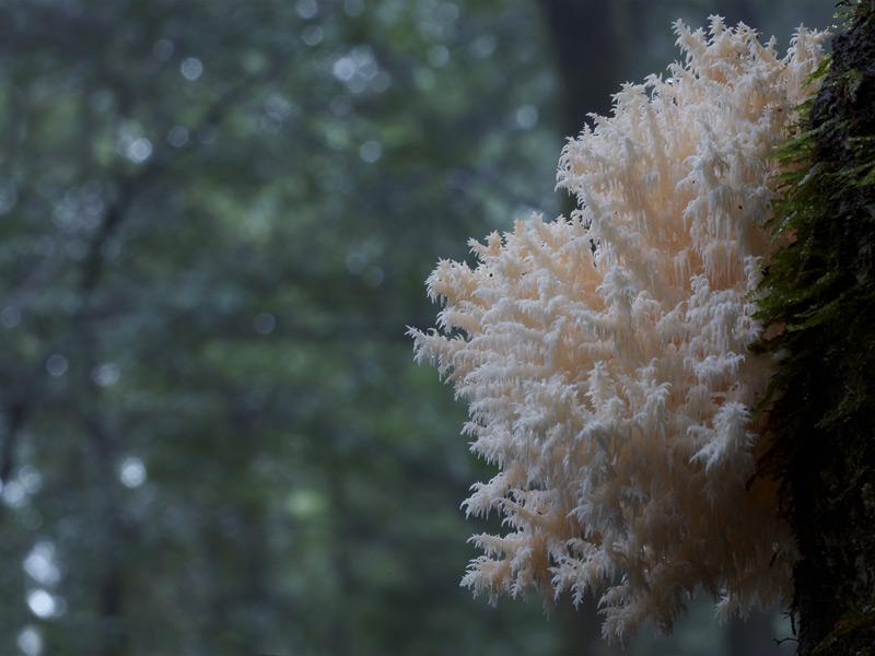 Hericium coralloides, Balfour Track, Tarkine, Tasmania
