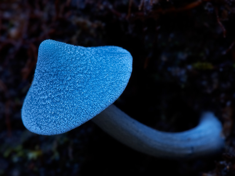 Sky blue mushroom.  Entoloma Hochstetteri (virescens), Fox Glacier, New Zealand