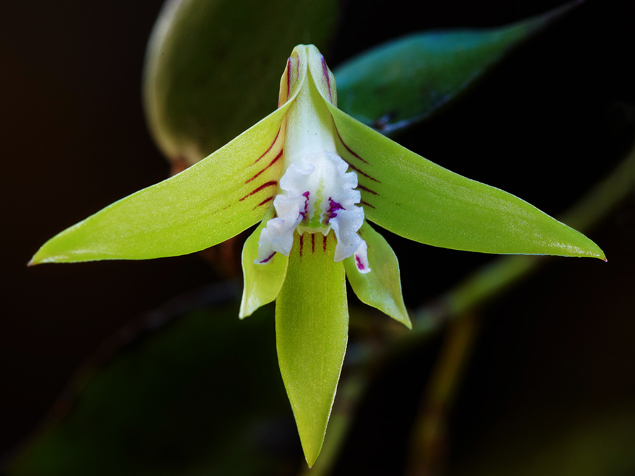 Dagger Orchid