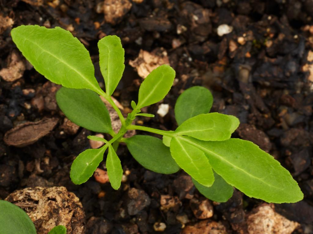 Sarcomelicope simplificifolia (Bauerella)