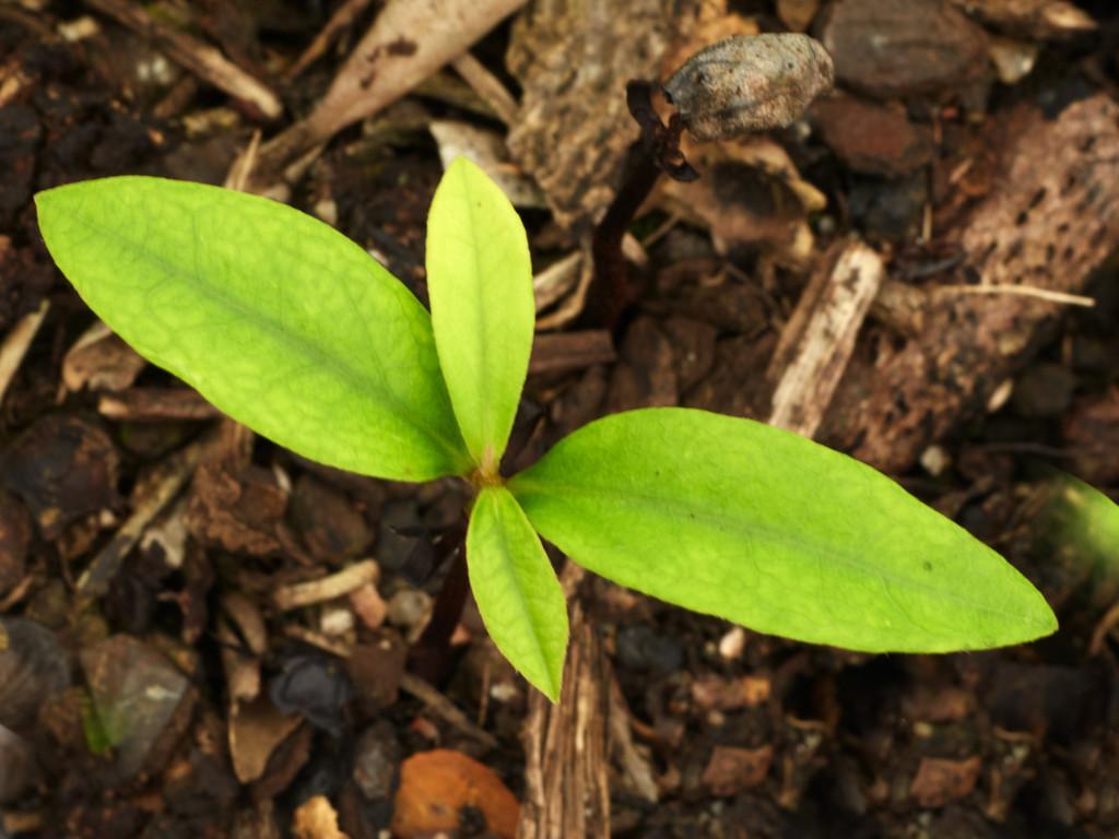 Diospyrus pentamera (Myrtle Ebony)