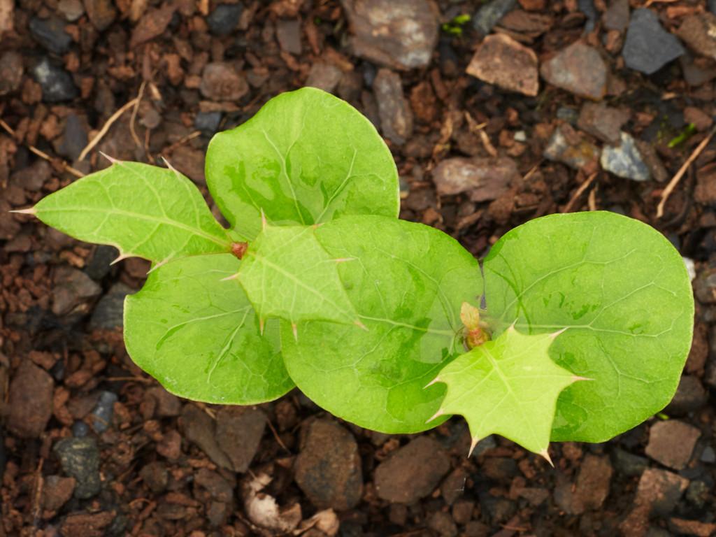 Alchornia ilicifolia (Native Holly)
