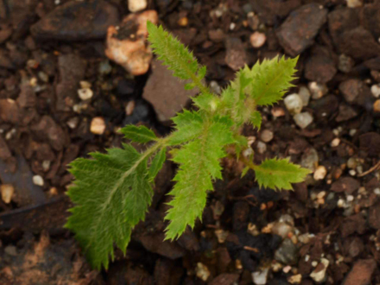 Davidsonia pruriens (North Queensland Davidson's Plum)