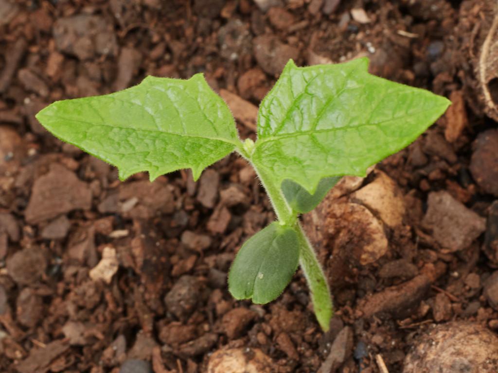 Tasmannia lanceolata (Mountain Pepper)